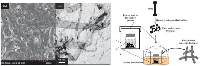 Fabrication of Mineralized Collagen from Bovine Waste Materials by Hydrothermal Method as Promised Biomaterials